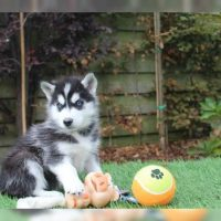 Blue Eye Siberian Husky puppies for Rehoming